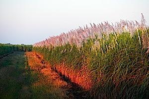 campo de caña de azúcar en Malawi